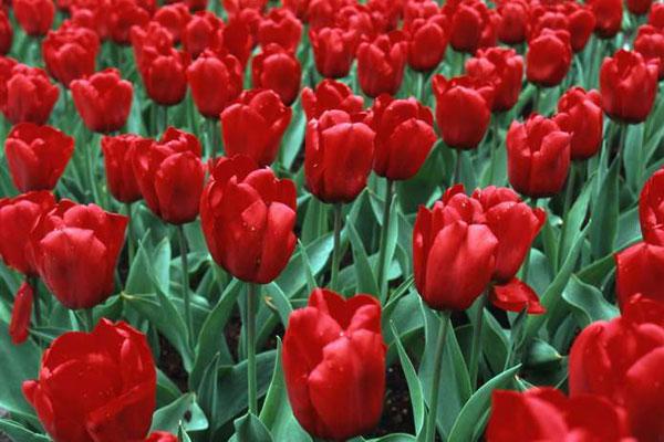 红色郁金香的花语