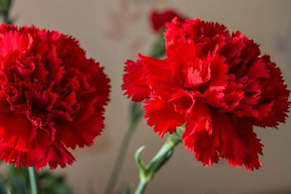 11朵红色康乃馨的花语