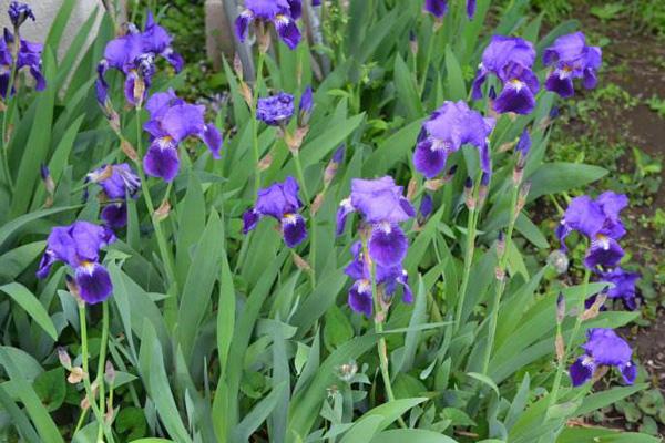 德国鸢尾花的花语,不同花色的含义