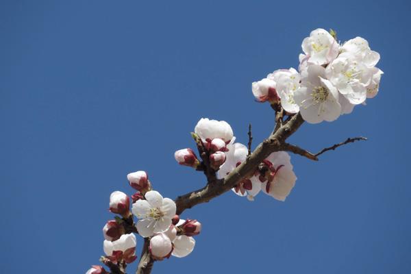 杏花的花语