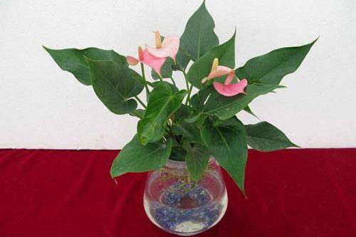 粉掌的花语是什么?