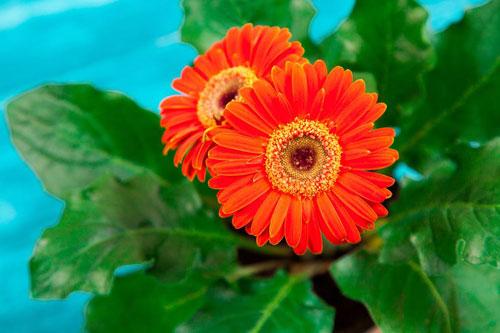 红色非洲菊花语是什么?