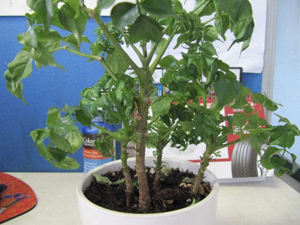 幸福树(辣椒树)花语